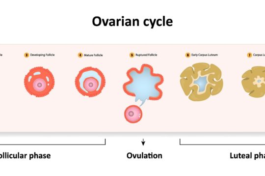 Was ist das Corpus luteum und welche Bedeutung hat es in der Schwangerschaft?